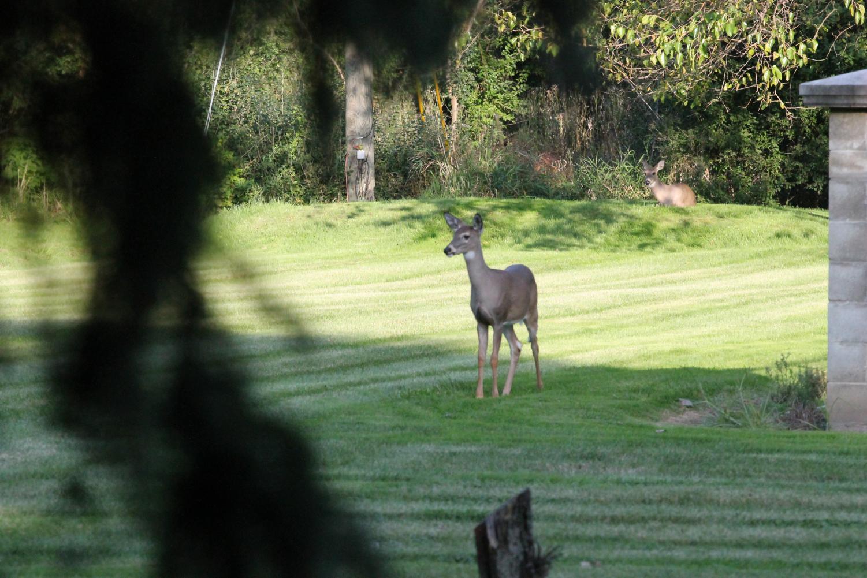A Deer walking through a students backyard in Troy, MI.